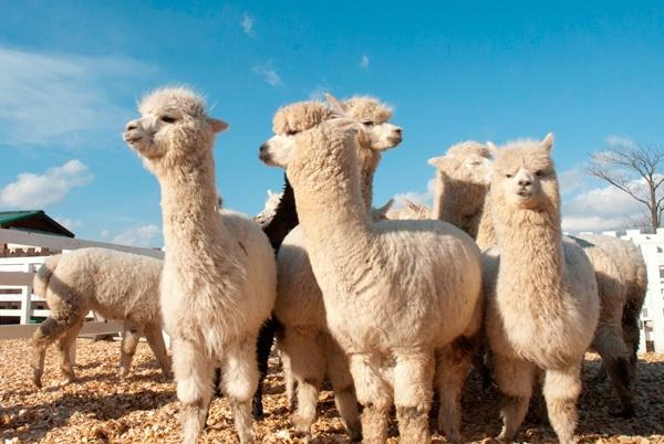 四季彩之丘羊駝